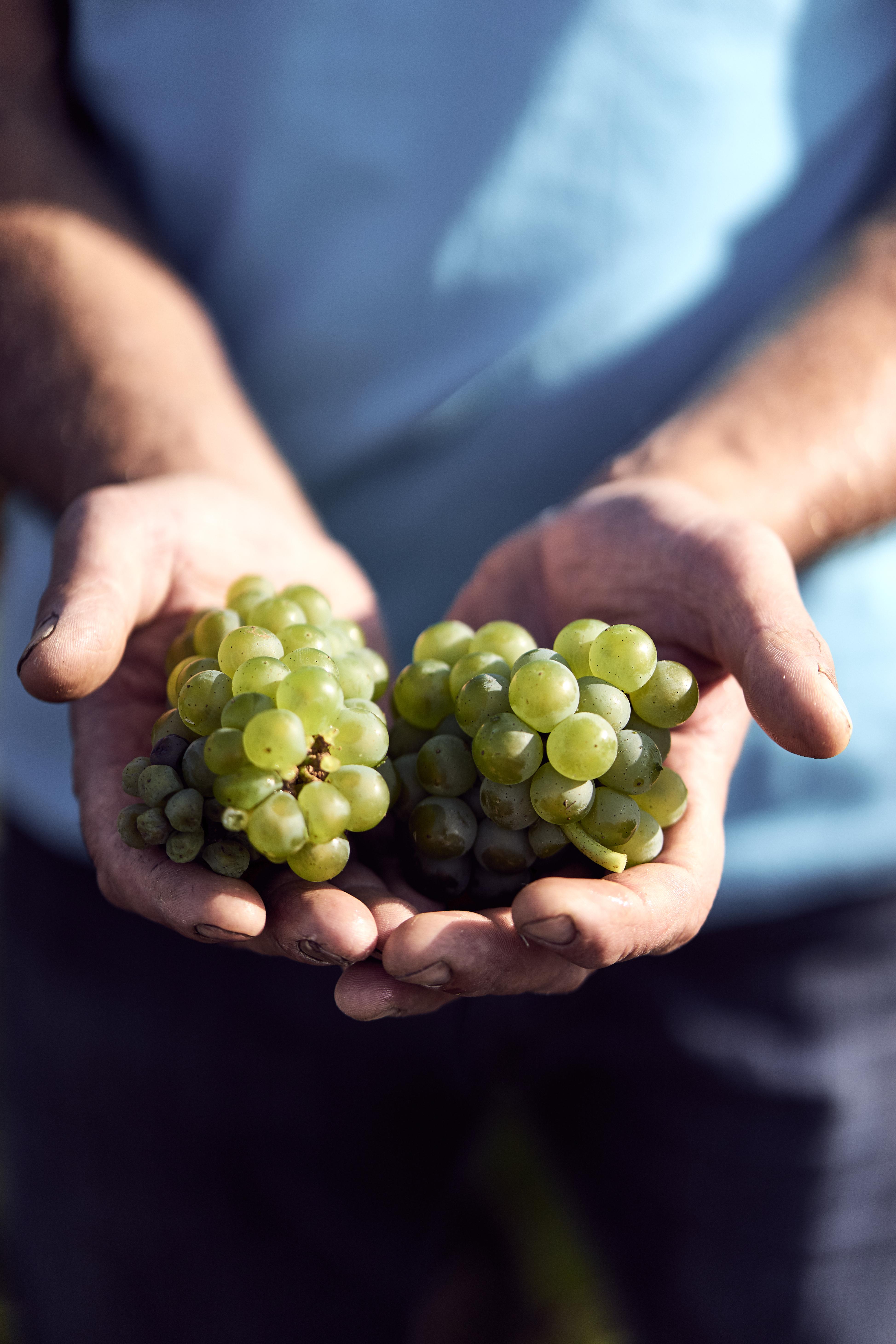 Wine Grower's hands