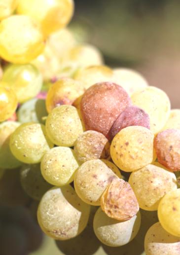 Poster of Coteaux de Saumur, a soft and shiny sweet wine