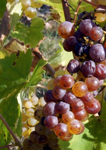 Poster of Coteaux de Layon Premier Cru Chaume, a sweet white wine