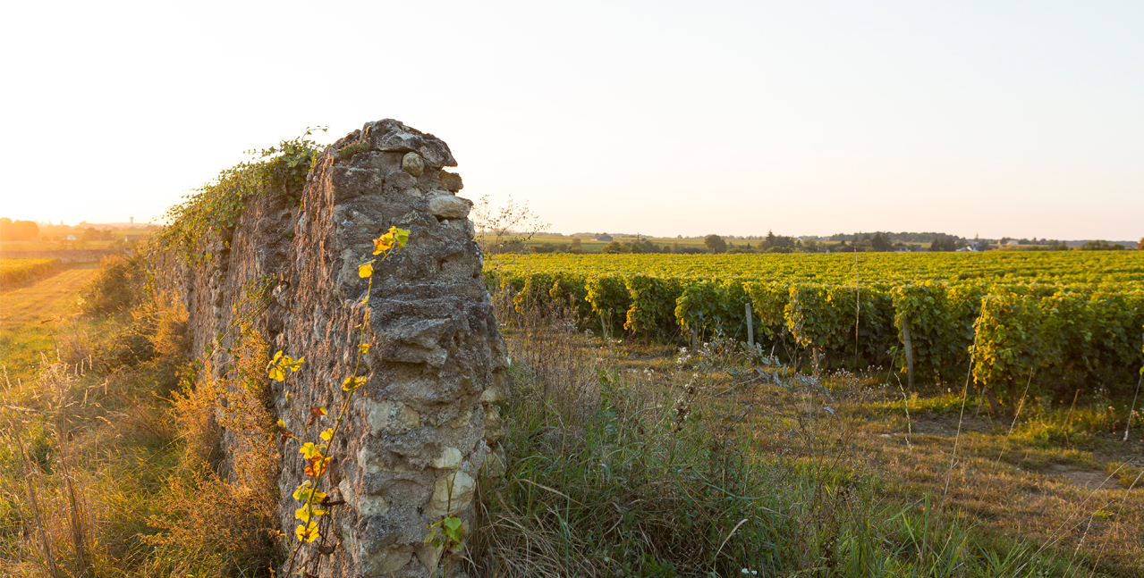 A stone wall bordering a vineyard