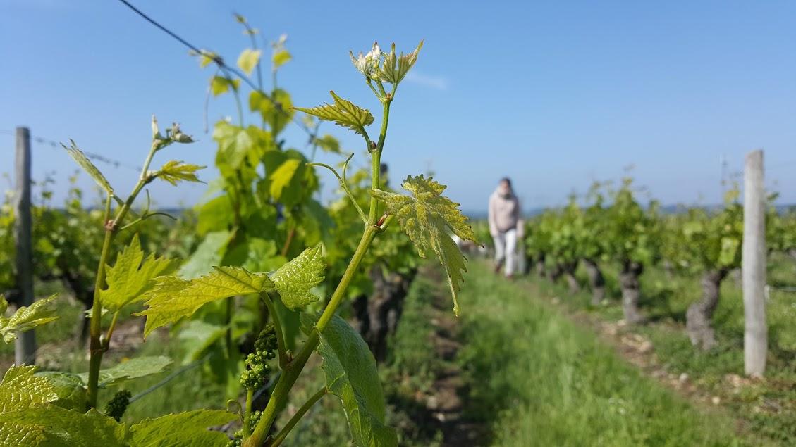 Le vignes du Val de Loire